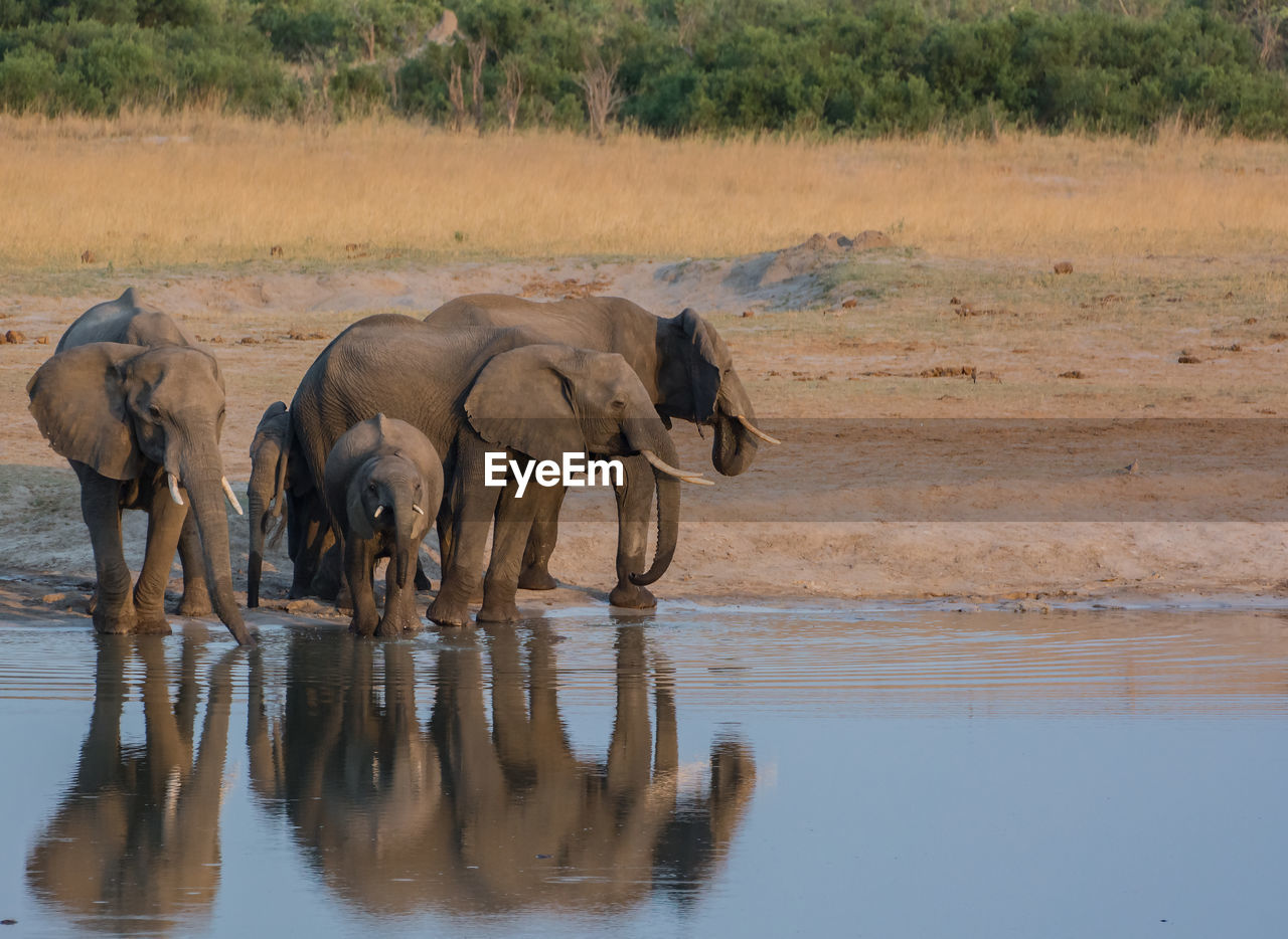 Elephants Drinking Water In Lake