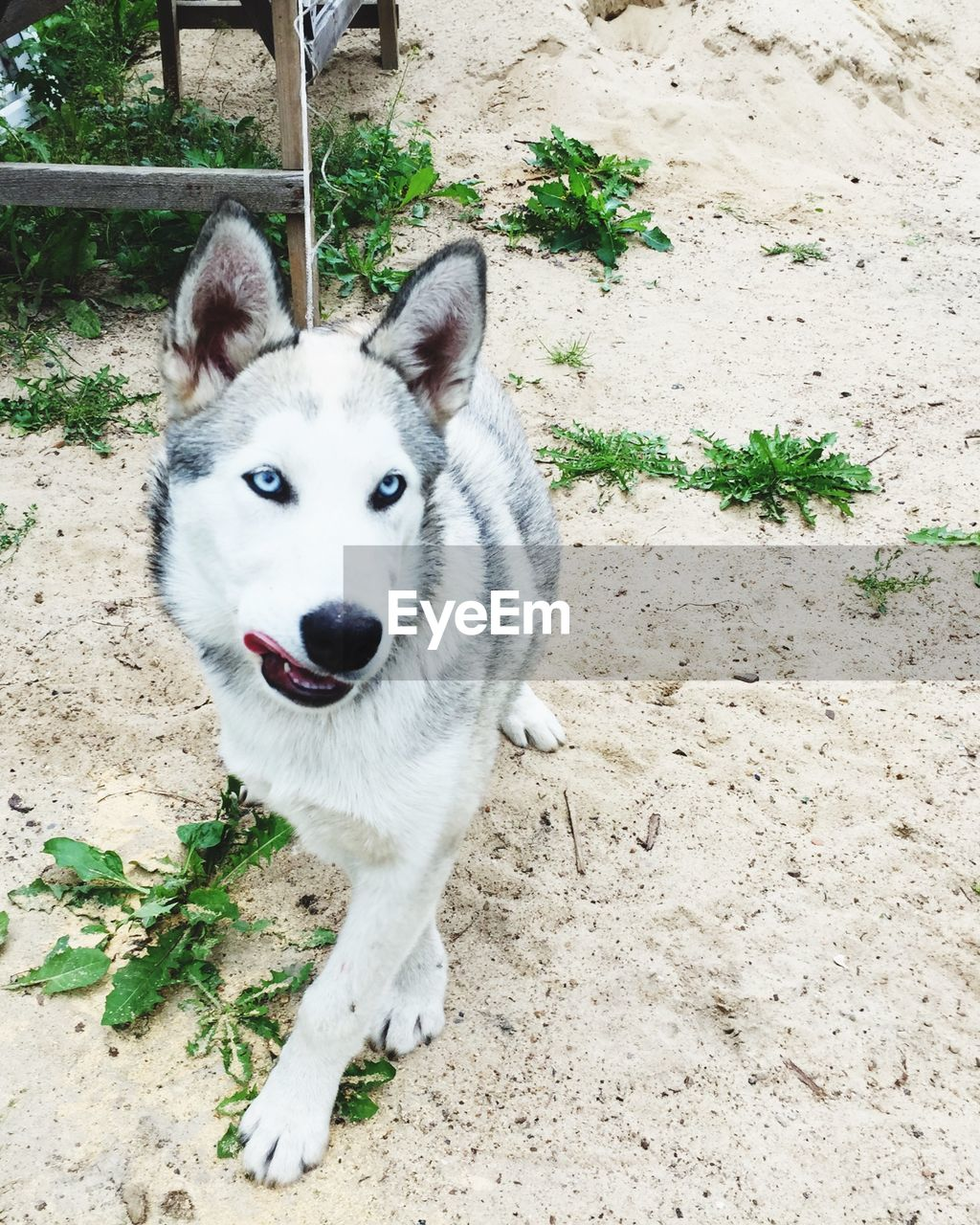 one animal, mammal, domestic animals, pets, domestic, animal themes, animal, vertebrate, canine, portrait, dog, looking at camera, field, day, land, no people, nature, plant, sled dog, animal body part, outdoors, animal head, purebred dog