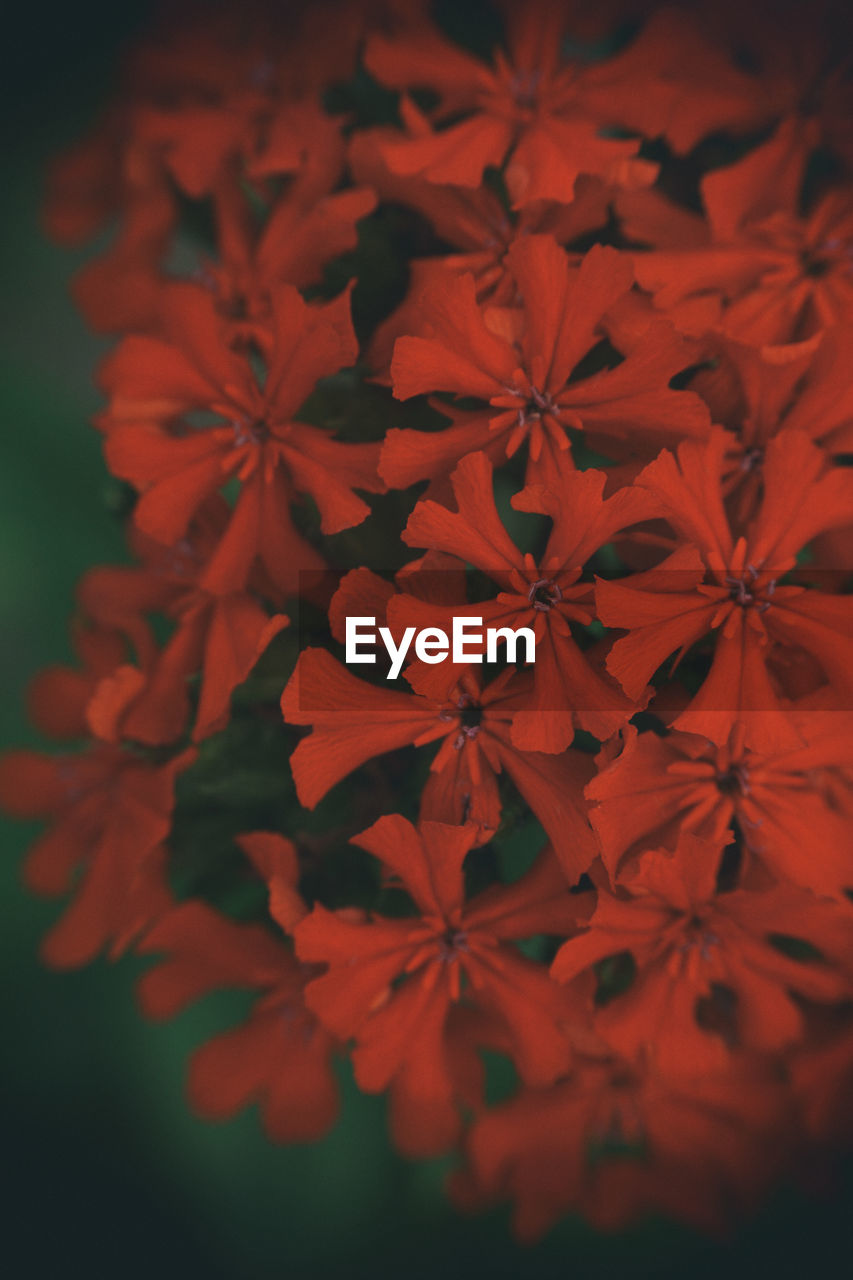 flower, growth, petal, beauty in nature, plant, nature, red, no people, fragility, flower head, close-up, outdoors, day, freshness