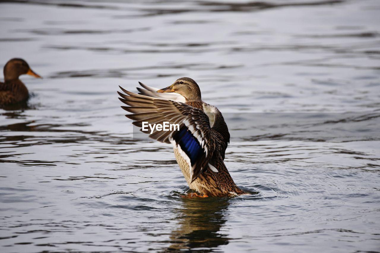 Mallard Duck With Spread Wings On River