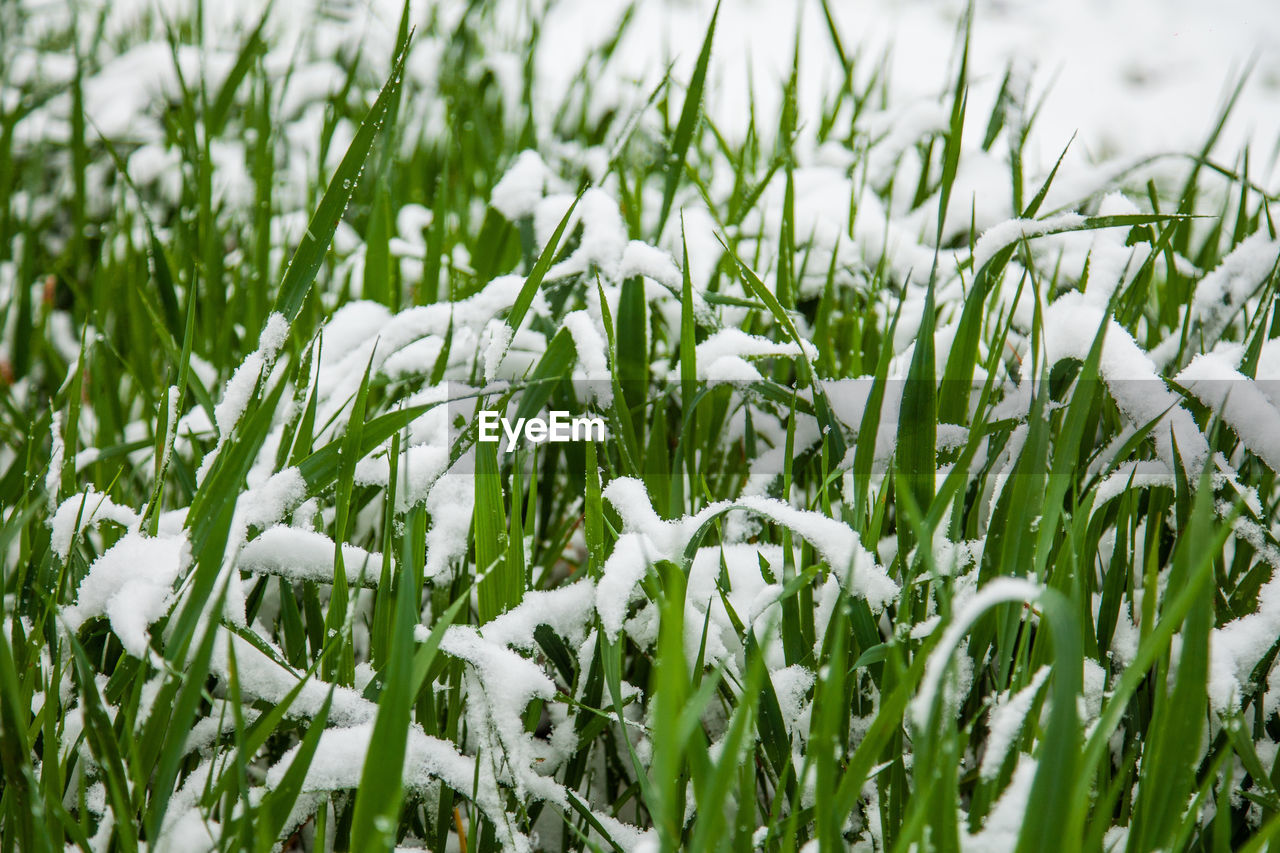 plant, growth, field, beauty in nature, green color, land, white color, nature, no people, fragility, close-up, day, flower, vulnerability, grass, snowdrop, flowering plant, freshness, tranquility, selective focus