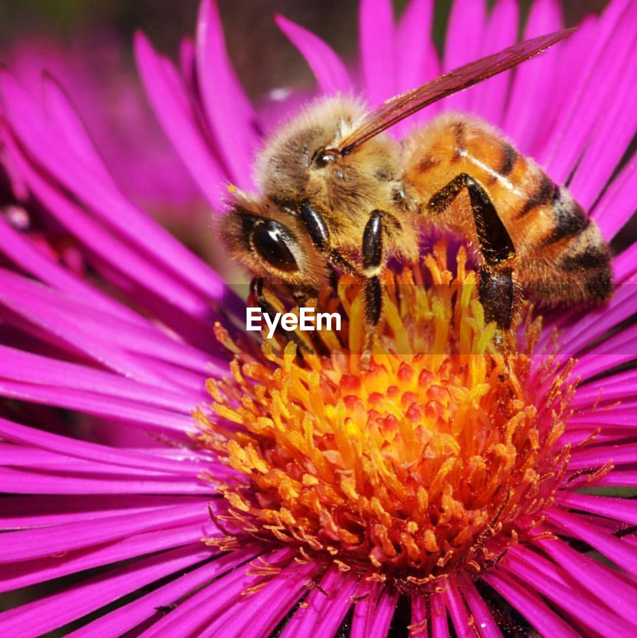 flower, petal, one animal, insect, animal themes, purple, fragility, flower head, beauty in nature, nature, animals in the wild, freshness, pollen, pollination, growth, close-up, no people, plant, bee, animal wildlife, pink color, outdoors, day, bumblebee, blooming, eastern purple coneflower