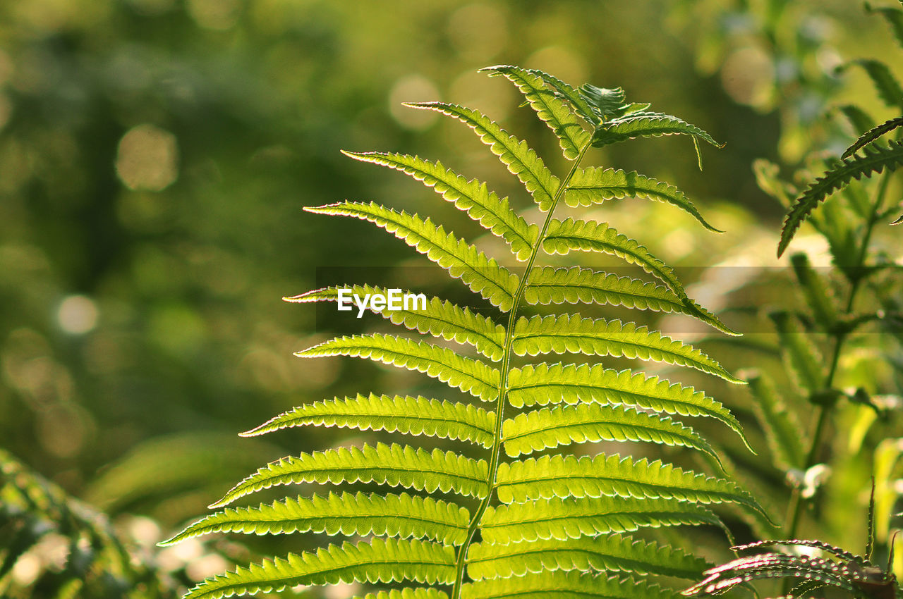 growth, leaf, green color, plant part, plant, close-up, focus on foreground, beauty in nature, day, nature, no people, outdoors, freshness, fern, tranquility, sunlight, tree, green, selective focus, food and drink, leaves