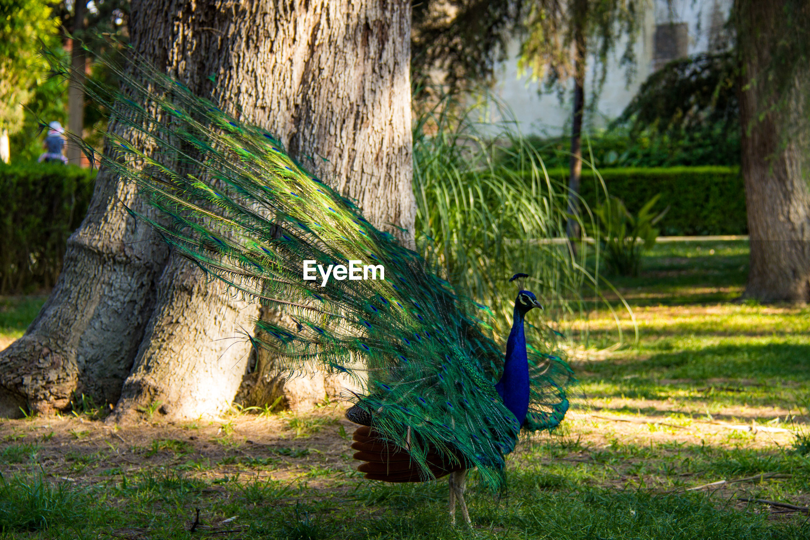View of peacock against tree trunk