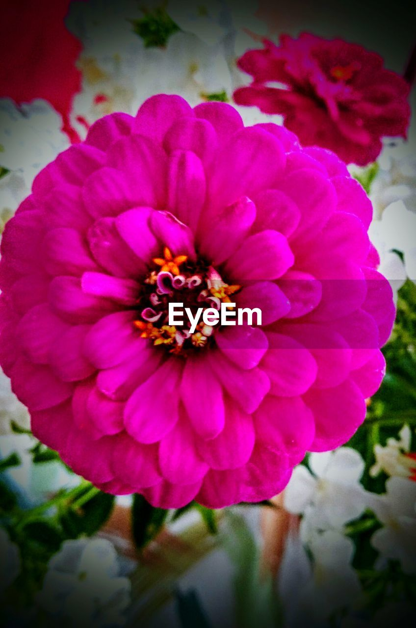 flower, petal, beauty in nature, flower head, nature, fragility, freshness, growth, plant, focus on foreground, no people, outdoors, day, blooming, close-up, zinnia