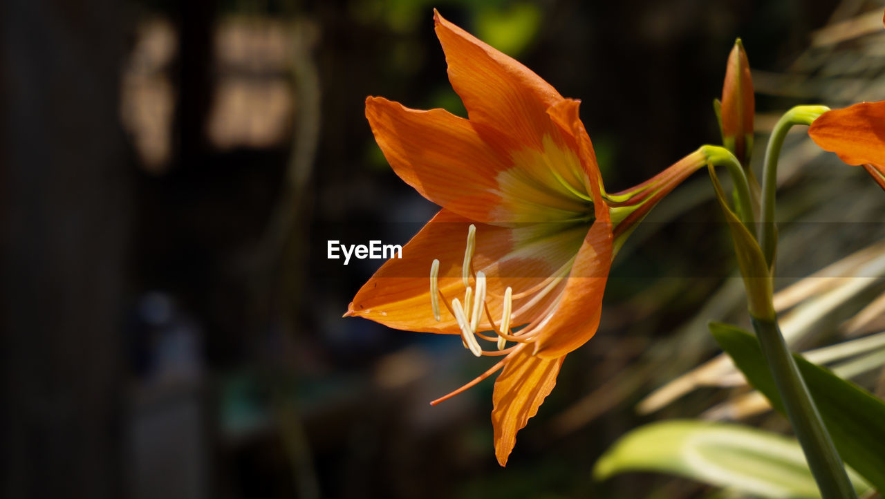flowering plant, plant, flower, beauty in nature, petal, growth, vulnerability, freshness, close-up, fragility, flower head, orange color, focus on foreground, inflorescence, nature, day, no people, botany, pollen, outdoors