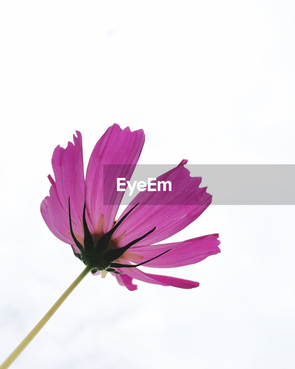 flowering plant, flower, vulnerability, fragility, freshness, beauty in nature, petal, plant, close-up, pink color, flower head, inflorescence, studio shot, growth, white background, copy space, plant stem, no people, nature, sepal, pollen, softness