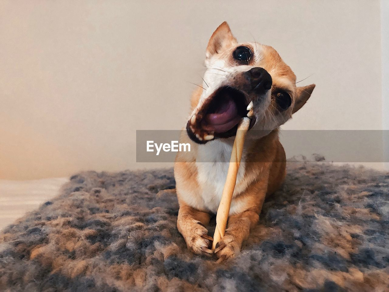 mammal, one animal, animal themes, animal, domestic animals, pets, domestic, canine, dog, vertebrate, indoors, no people, facial expression, mouth, mouth open, sitting, home interior, animal body part, looking, relaxation, animal mouth
