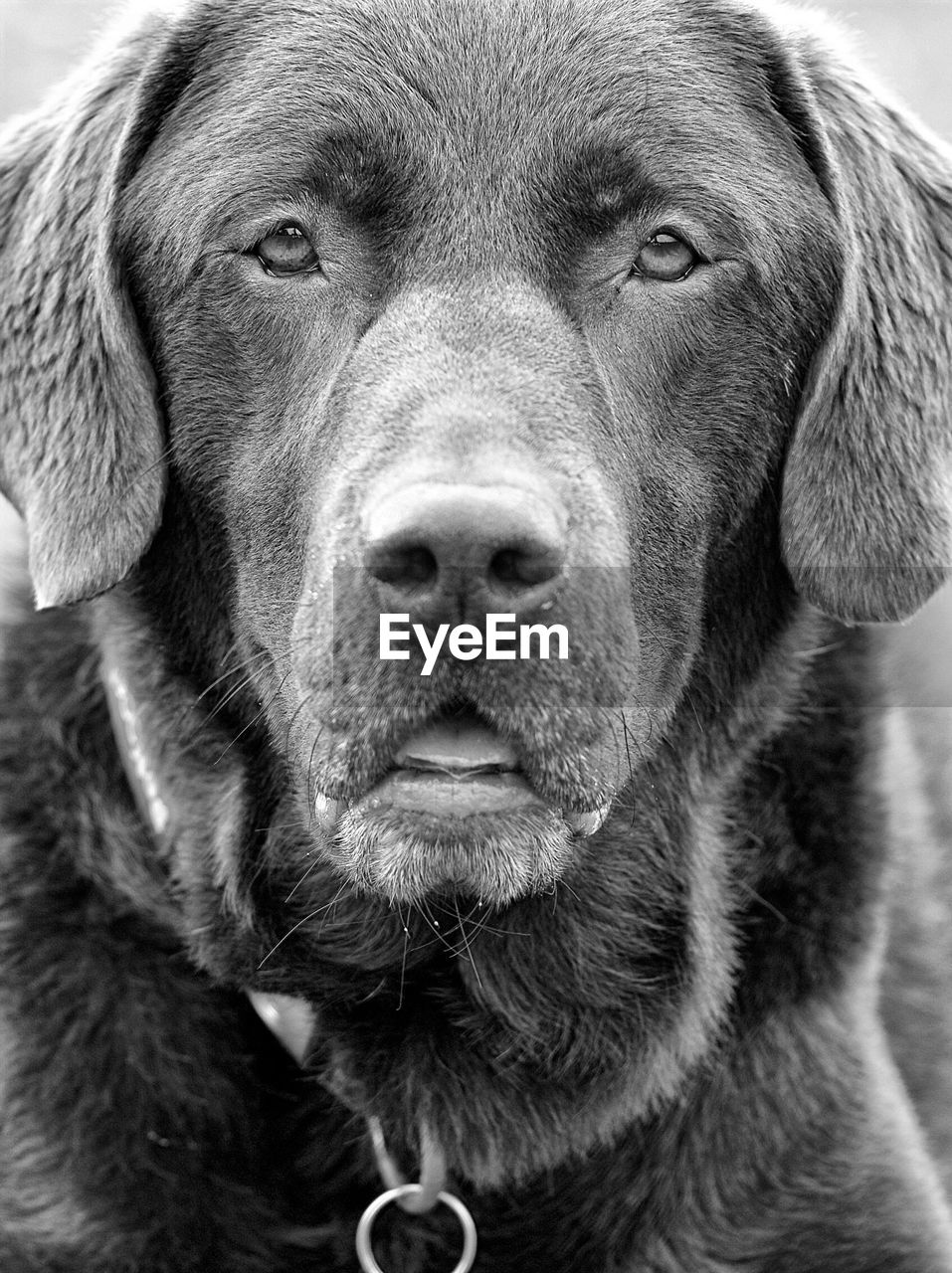 dog, pets, looking at camera, domestic animals, portrait, one animal, close-up, no people, animal themes, mammal, indoors, weimaraner, day