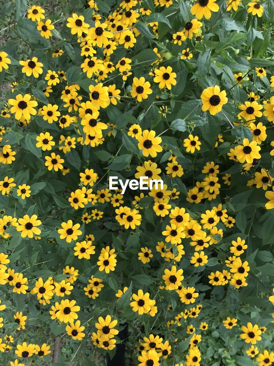 flower, yellow, fragility, growth, petal, freshness, blooming, nature, plant, beauty in nature, flower head, day, outdoors, field, no people, leaf, backgrounds, black-eyed susan, close-up