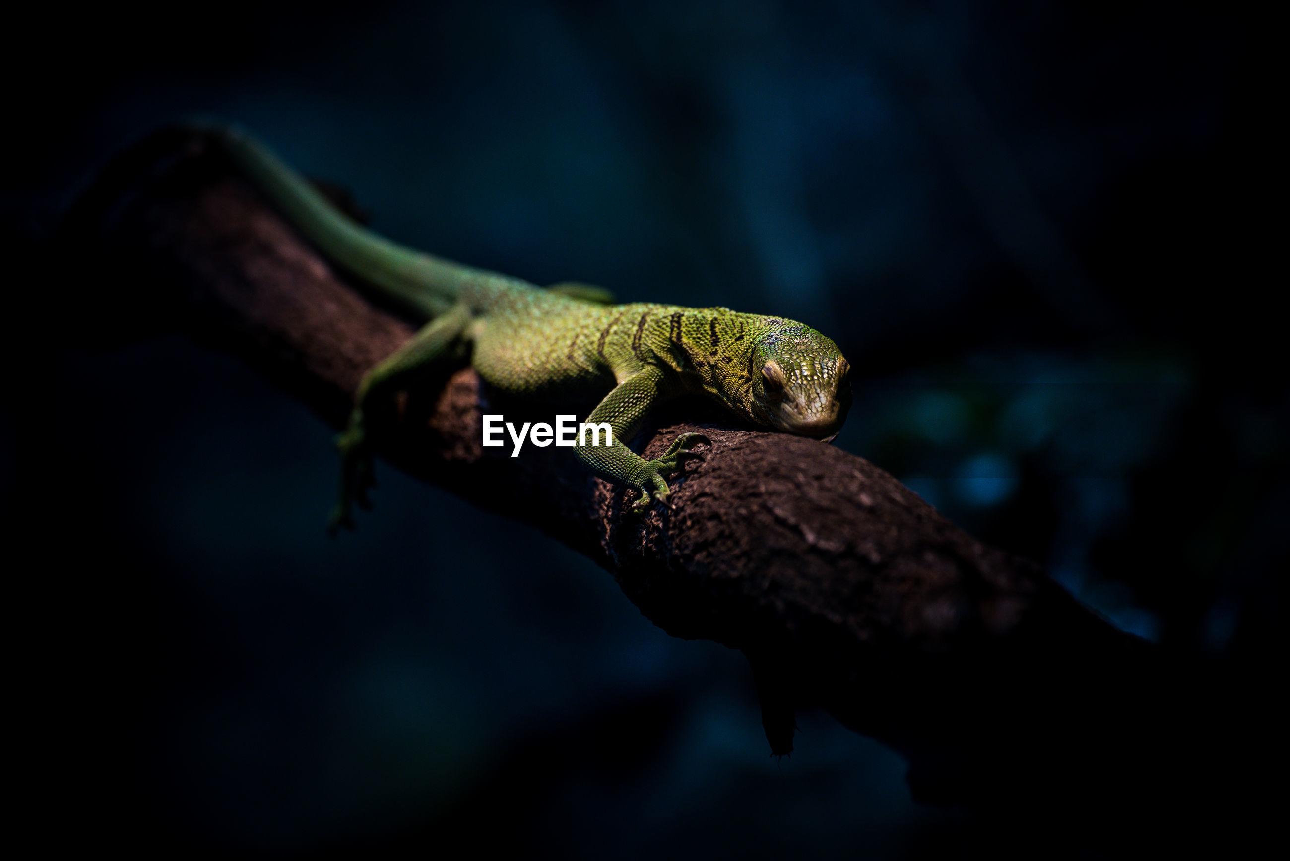 Close-up of lizard on tree at night