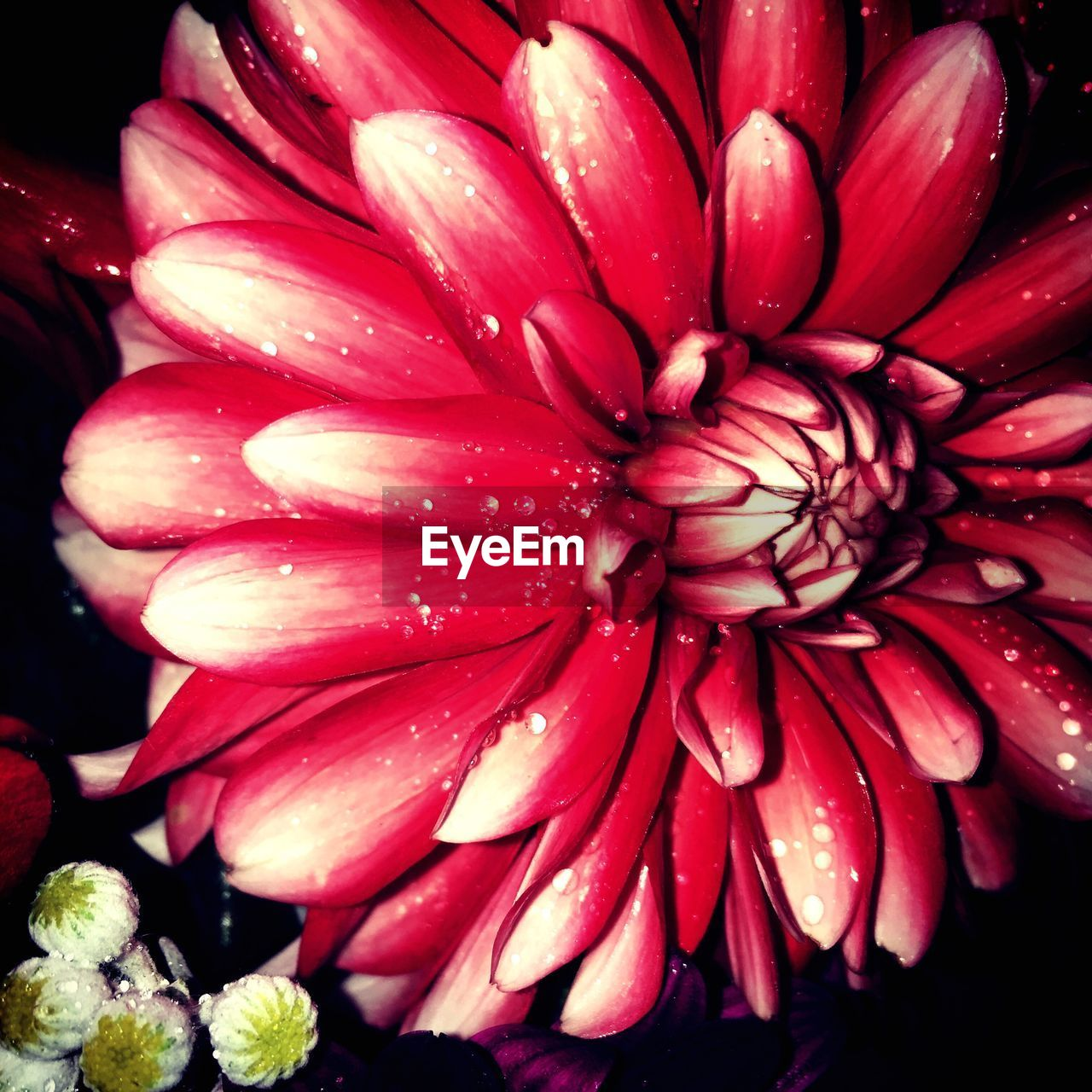 flower, freshness, petal, beauty in nature, growth, nature, flower head, plant, no people, fragility, red, close-up, outdoors, water, day, blooming