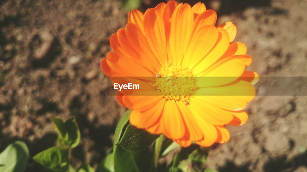 flower, petal, beauty in nature, flower head, fragility, nature, freshness, yellow, growth, plant, orange color, no people, outdoors, close-up, blooming, vibrant color, day