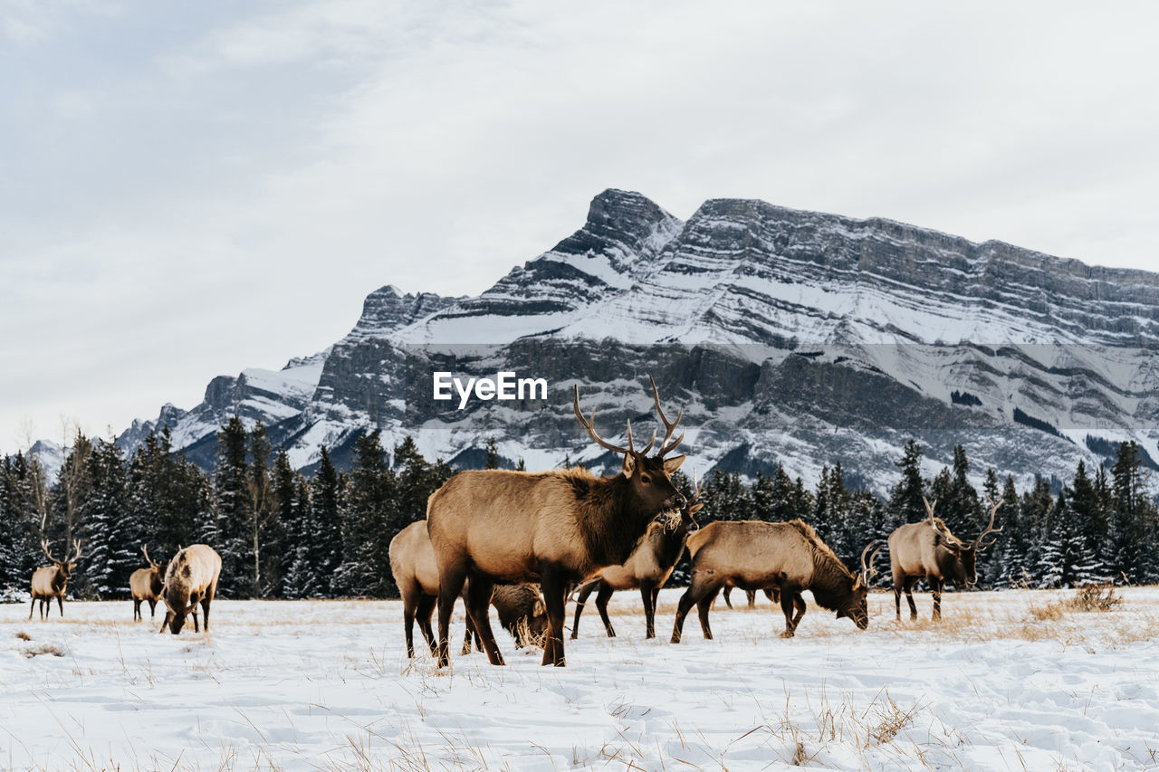 Mammals On Snow Covered Field Against Mountains