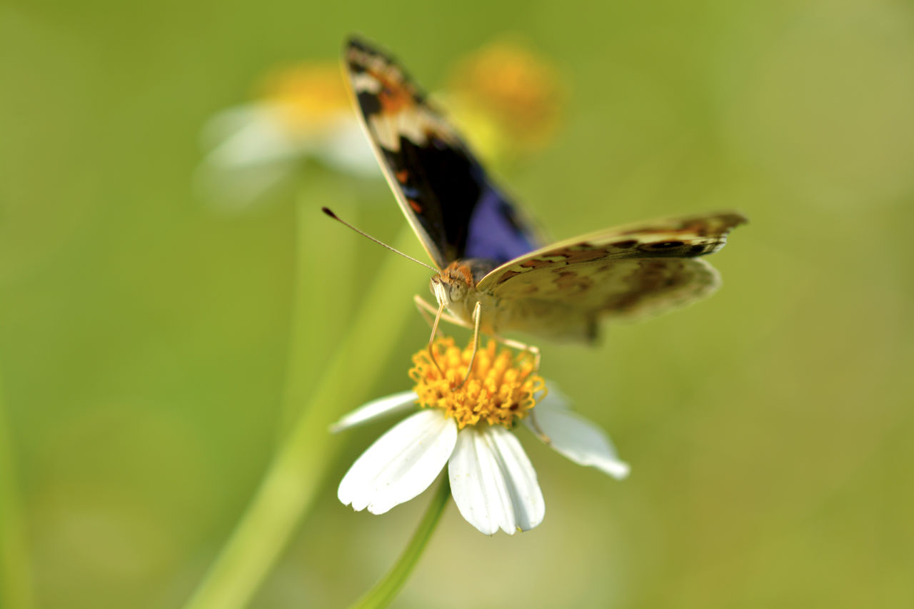Macro shot of butterfly pollinating on daisy flower