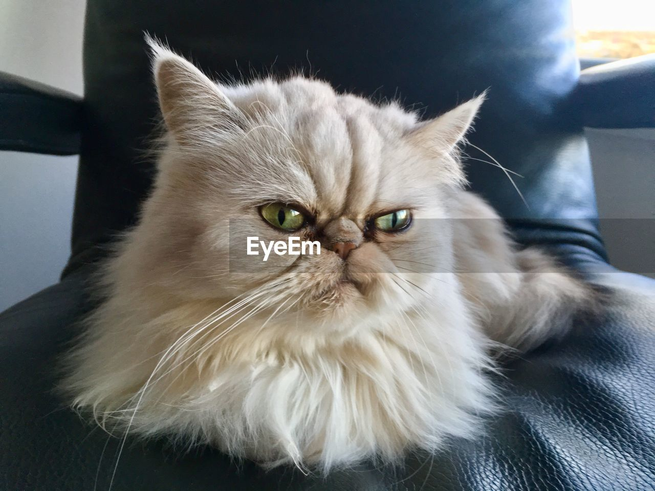 pets, domestic, domestic cat, cat, domestic animals, feline, mammal, animal themes, animal, vertebrate, one animal, indoors, persian cat, whisker, portrait, looking at camera, no people, home interior, close-up, furniture