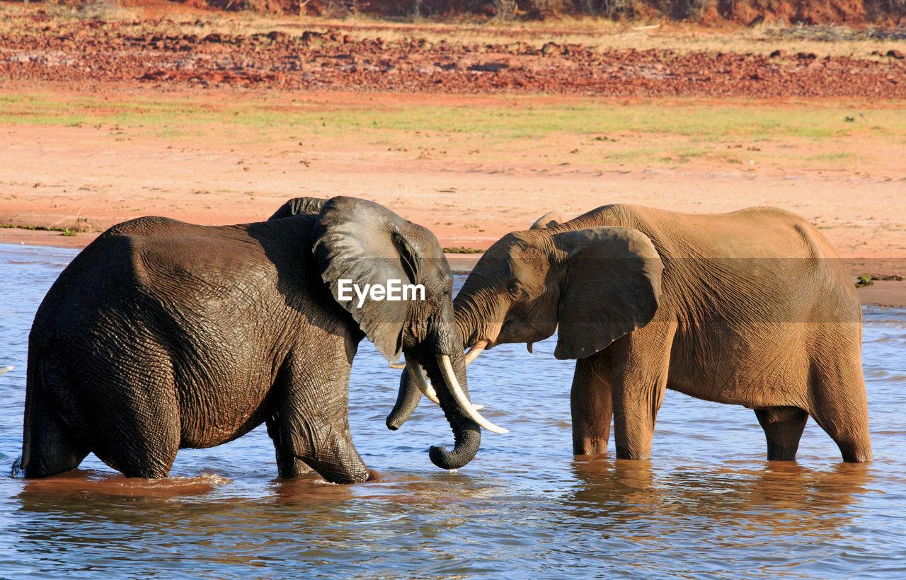 African Elephants In Lake