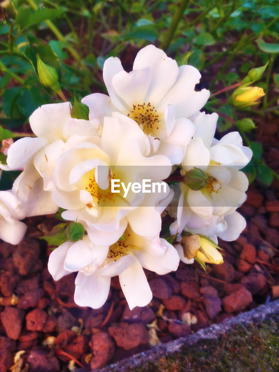 flower, white color, petal, nature, fragility, beauty in nature, freshness, flower head, no people, growth, close-up, outdoors, day