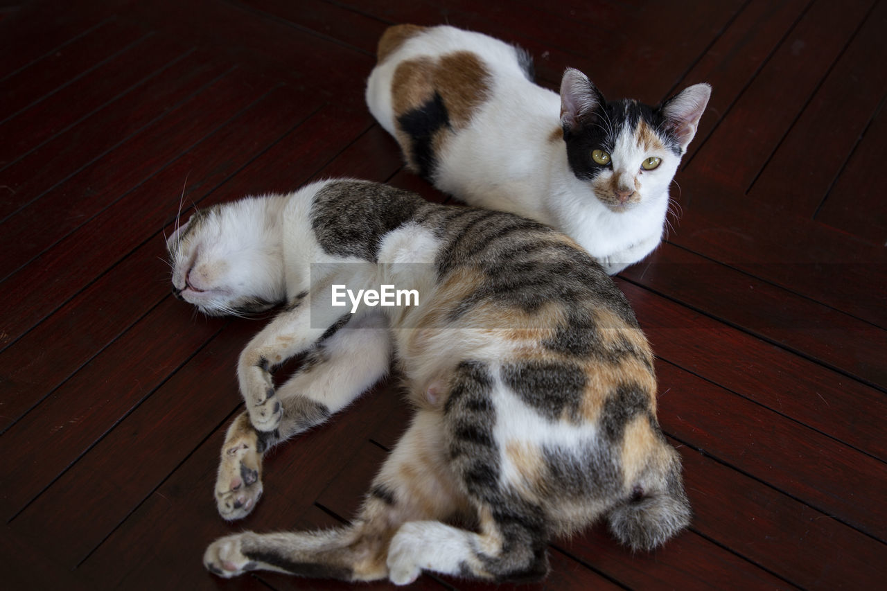 mammal, domestic, cat, pets, feline, animal themes, domestic animals, domestic cat, animal, group of animals, vertebrate, two animals, high angle view, flooring, relaxation, indoors, wood, no people, hardwood floor, whisker, animal family