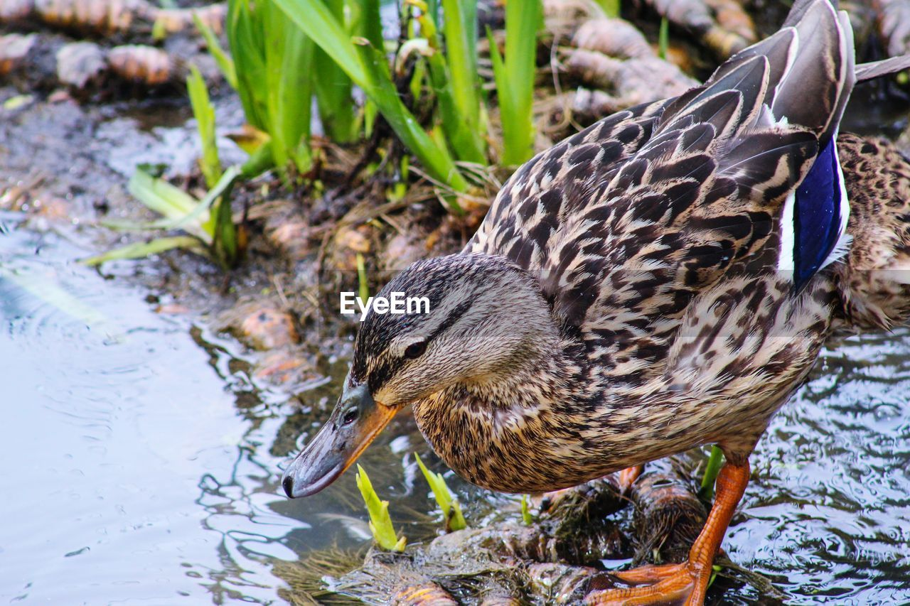 animal themes, vertebrate, animal wildlife, bird, animals in the wild, animal, water, lake, nature, one animal, duck, poultry, mallard duck, focus on foreground, day, no people, close-up, side view, beak, drinking