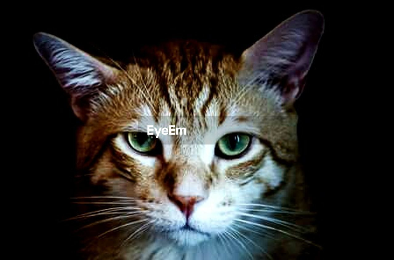 looking at camera, one animal, portrait, domestic cat, black background, pets, animal themes, whisker, feline, close-up, domestic animals, no people, indoors, day