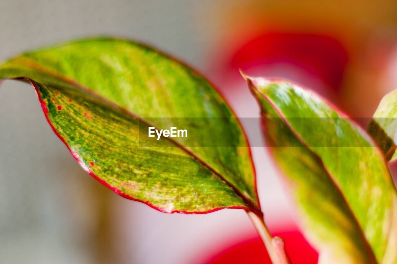 leaf, green color, close-up, nature, no people, day, growth, focus on foreground, beauty in nature, outdoors, fragility, freshness, water, maple