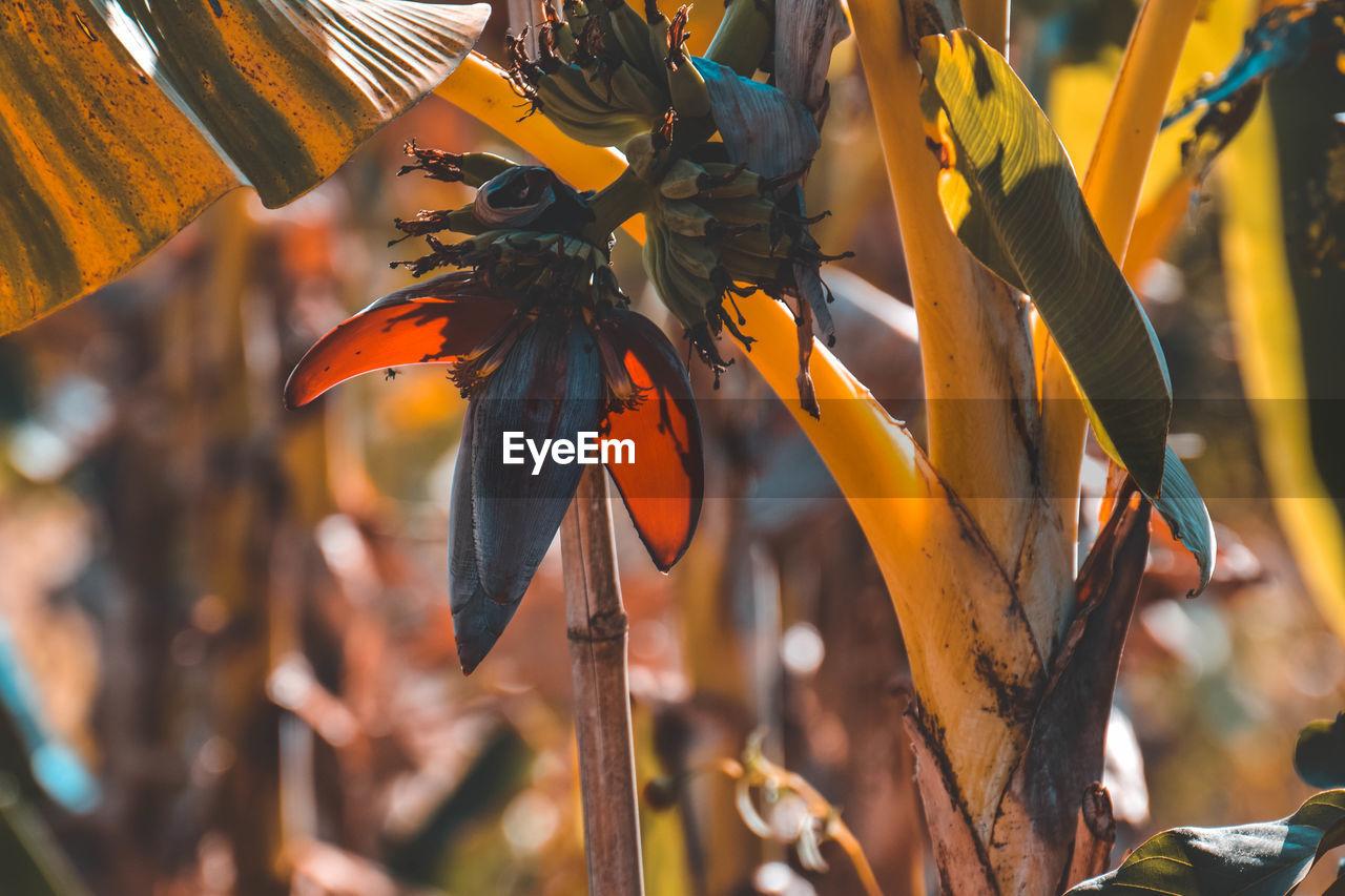 CLOSE-UP OF ORANGE FLOWERING PLANT IN FIELD
