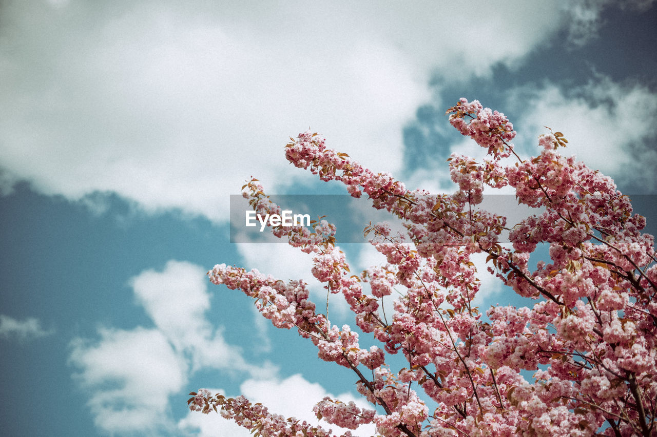 LOW ANGLE VIEW OF PINK FLOWERS AGAINST CLOUDY SKY