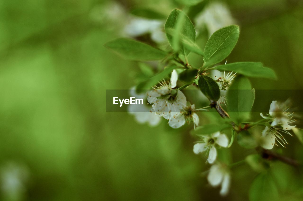 plant, growth, beauty in nature, close-up, freshness, plant part, selective focus, leaf, green color, flower, vulnerability, no people, fragility, flowering plant, nature, day, tree, outdoors, focus on foreground, white color, springtime, flower head