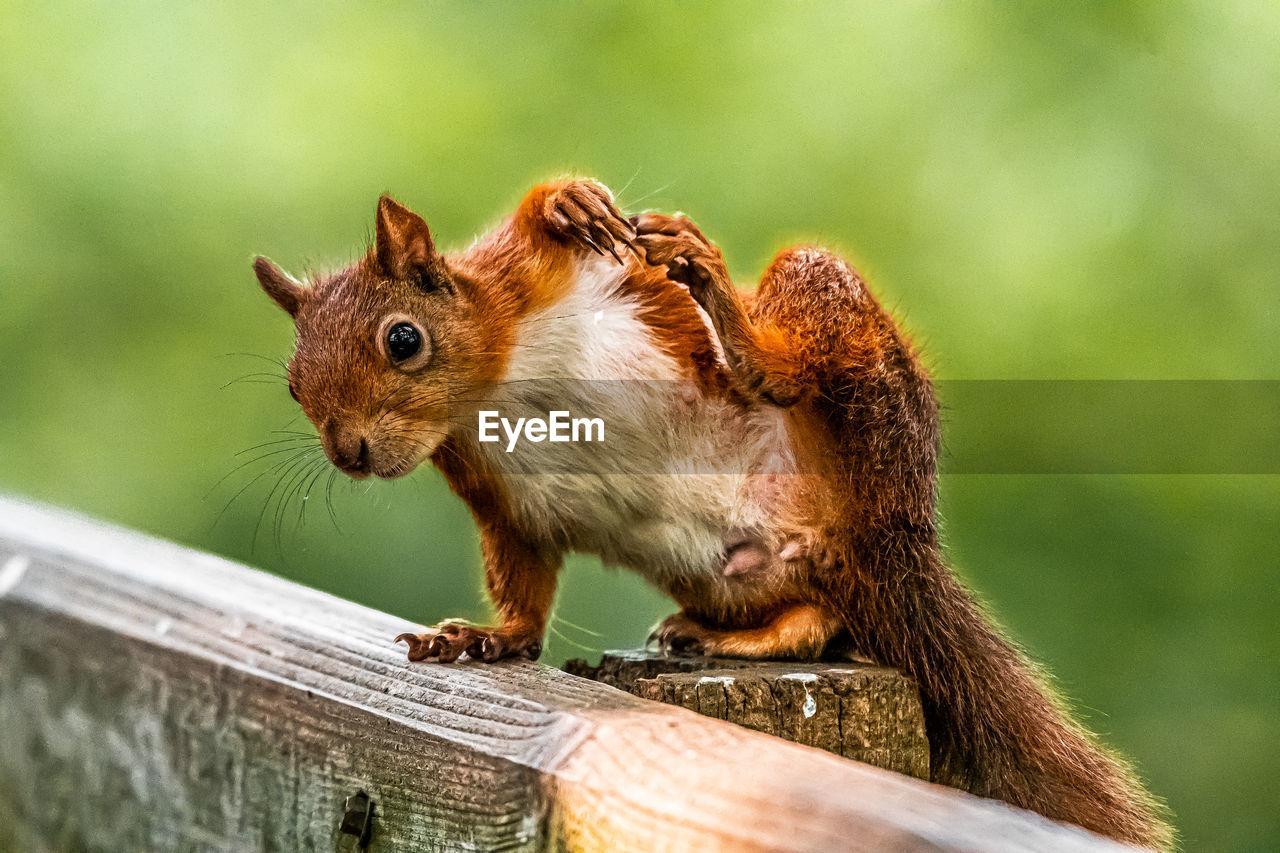 Red squirrel scratching