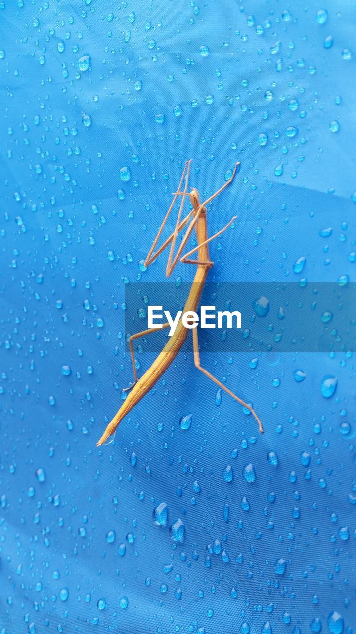 Close-up of stick insect on wet blue wall