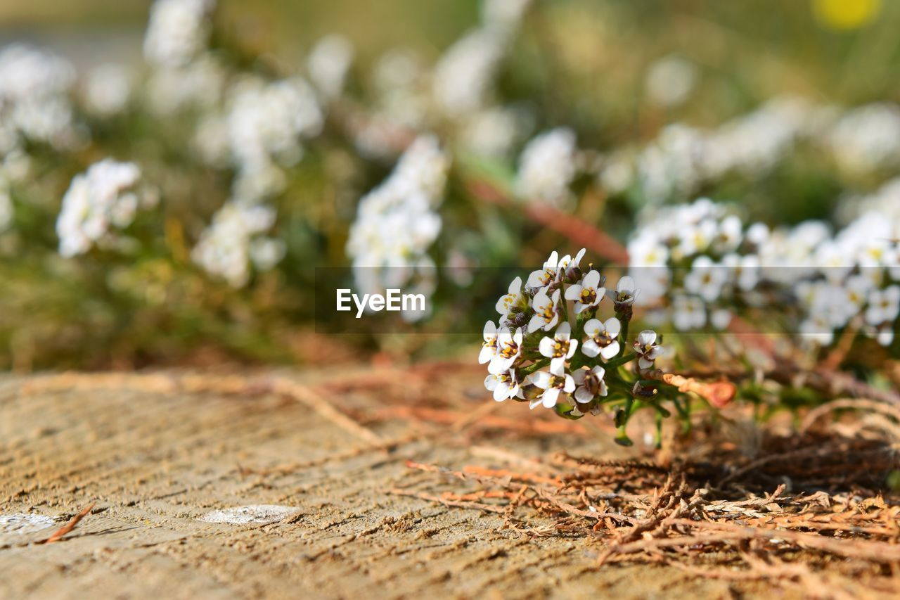 flower, flowering plant, plant, beauty in nature, selective focus, growth, nature, fragility, vulnerability, freshness, close-up, day, no people, field, land, outdoors, white color, focus on foreground, petal, sunlight, flower head