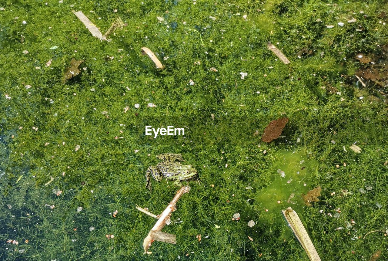 animal wildlife, animal themes, animal, animals in the wild, plant, green color, grass, high angle view, nature, one animal, vertebrate, no people, water, day, lake, land, outdoors, growth, swamp