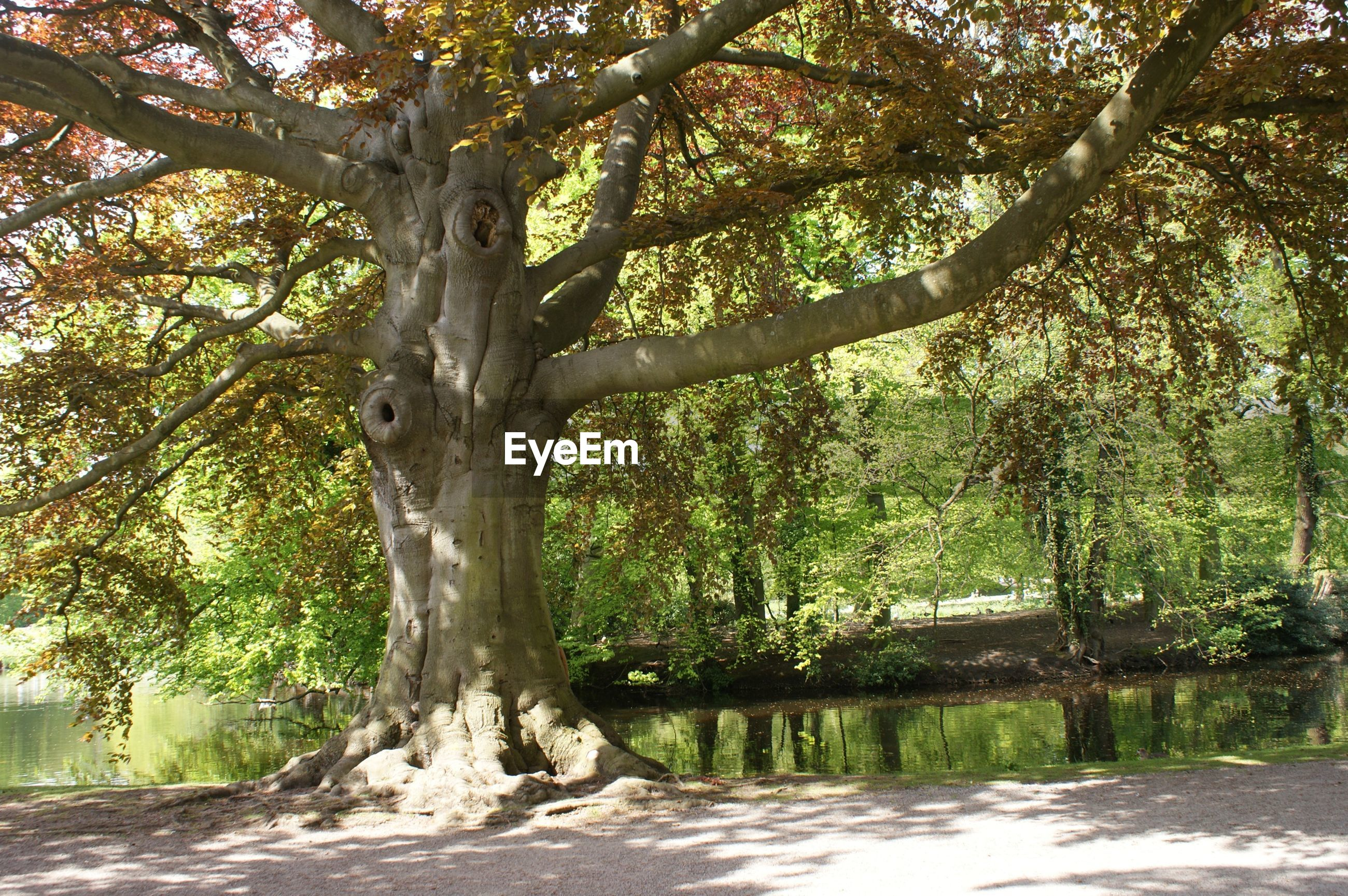 tree, tree trunk, branch, growth, tranquility, nature, tranquil scene, beauty in nature, scenics, green color, forest, water, day, sunlight, park - man made space, idyllic, outdoors, shadow, non-urban scene, no people