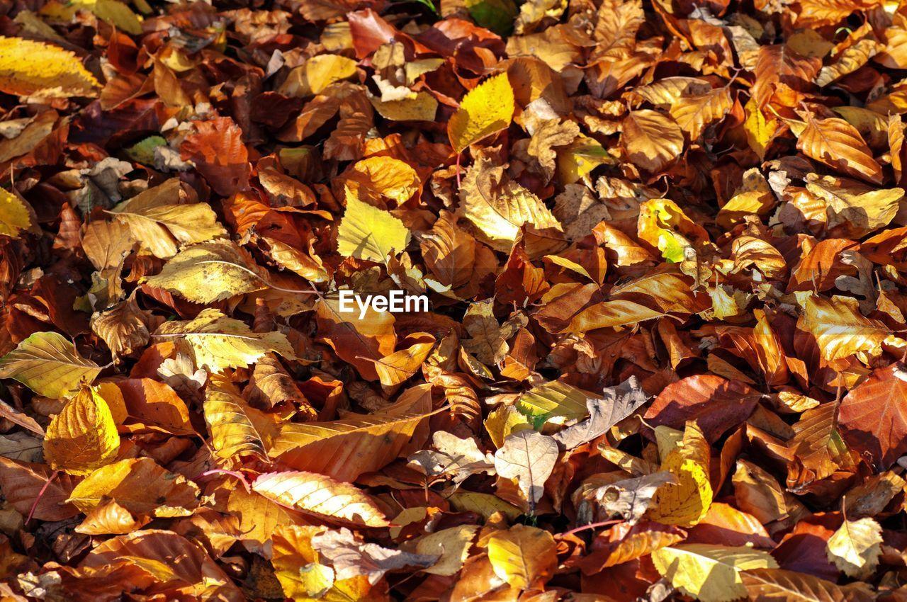 Full frame shot of yellow maple leaves on field
