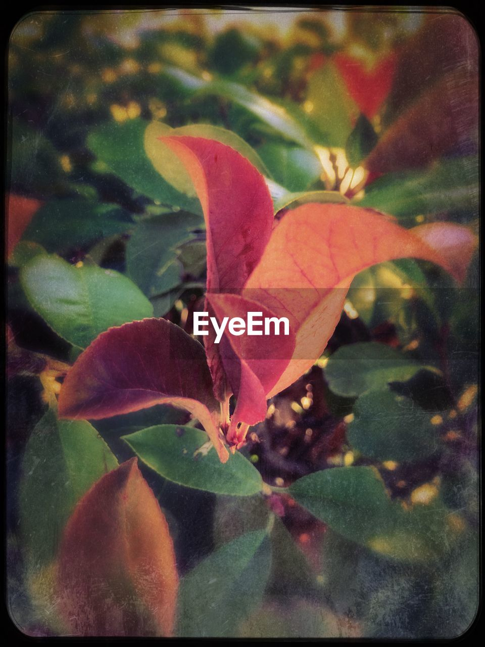 leaf, autumn, growth, nature, change, plant, fragility, maple, no people, maple leaf, outdoors, beauty in nature, close-up, day, freshness