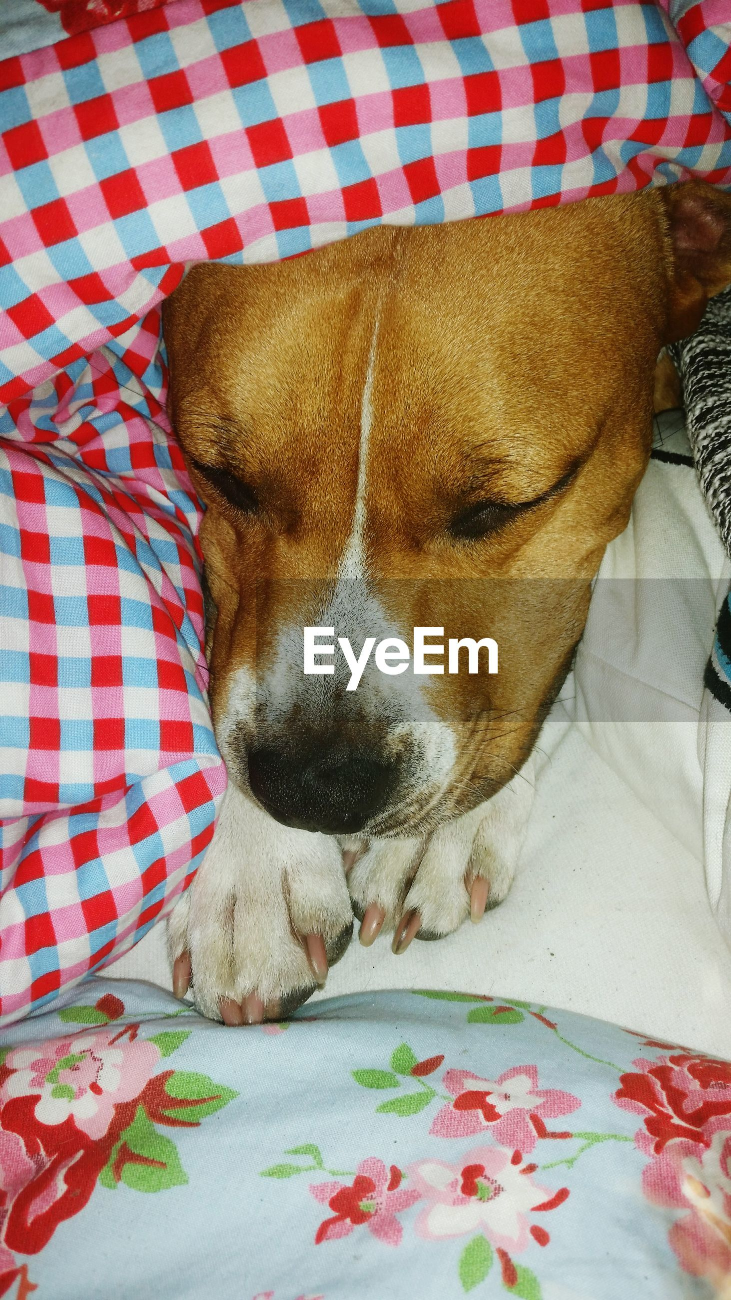 indoors, domestic animals, dog, bed, one animal, animal themes, pets, relaxation, sleeping, mammal, lying down, resting, high angle view, close-up, blanket, home interior, fabric, eyes closed, animal head, pillow