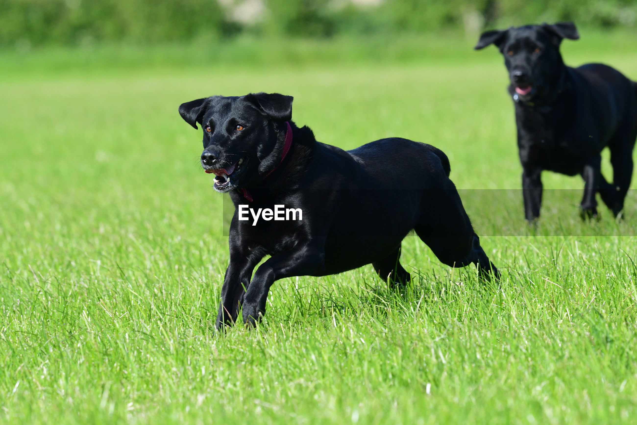 Action shot of a two black labradors running through a field