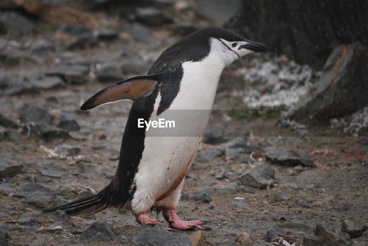 Close-up of a penguin on rock