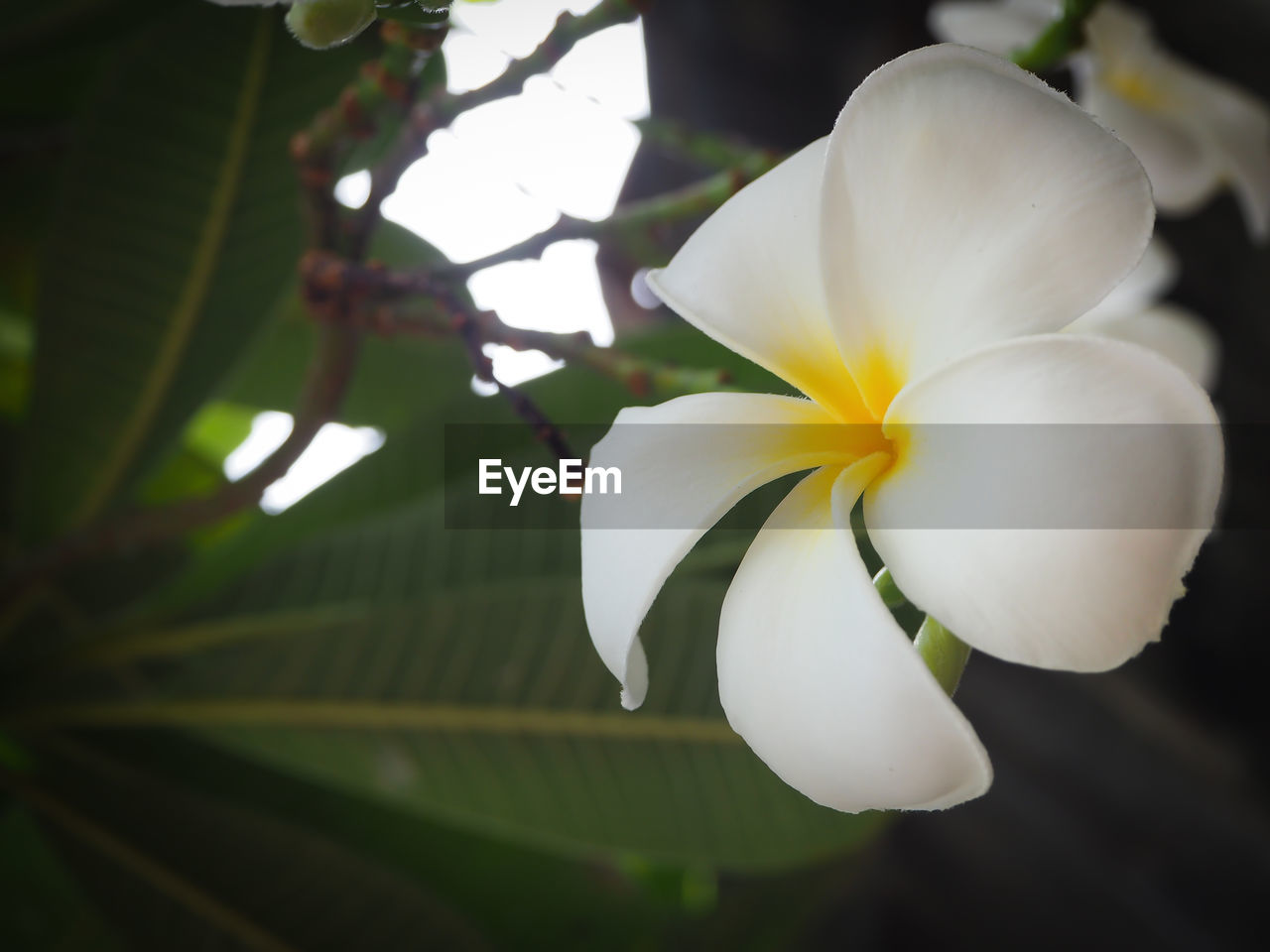 flower, beauty in nature, petal, white color, fragility, growth, flower head, freshness, nature, blossom, close-up, no people, springtime, outdoors, day, blooming, plant, frangipani, hibiscus, tree