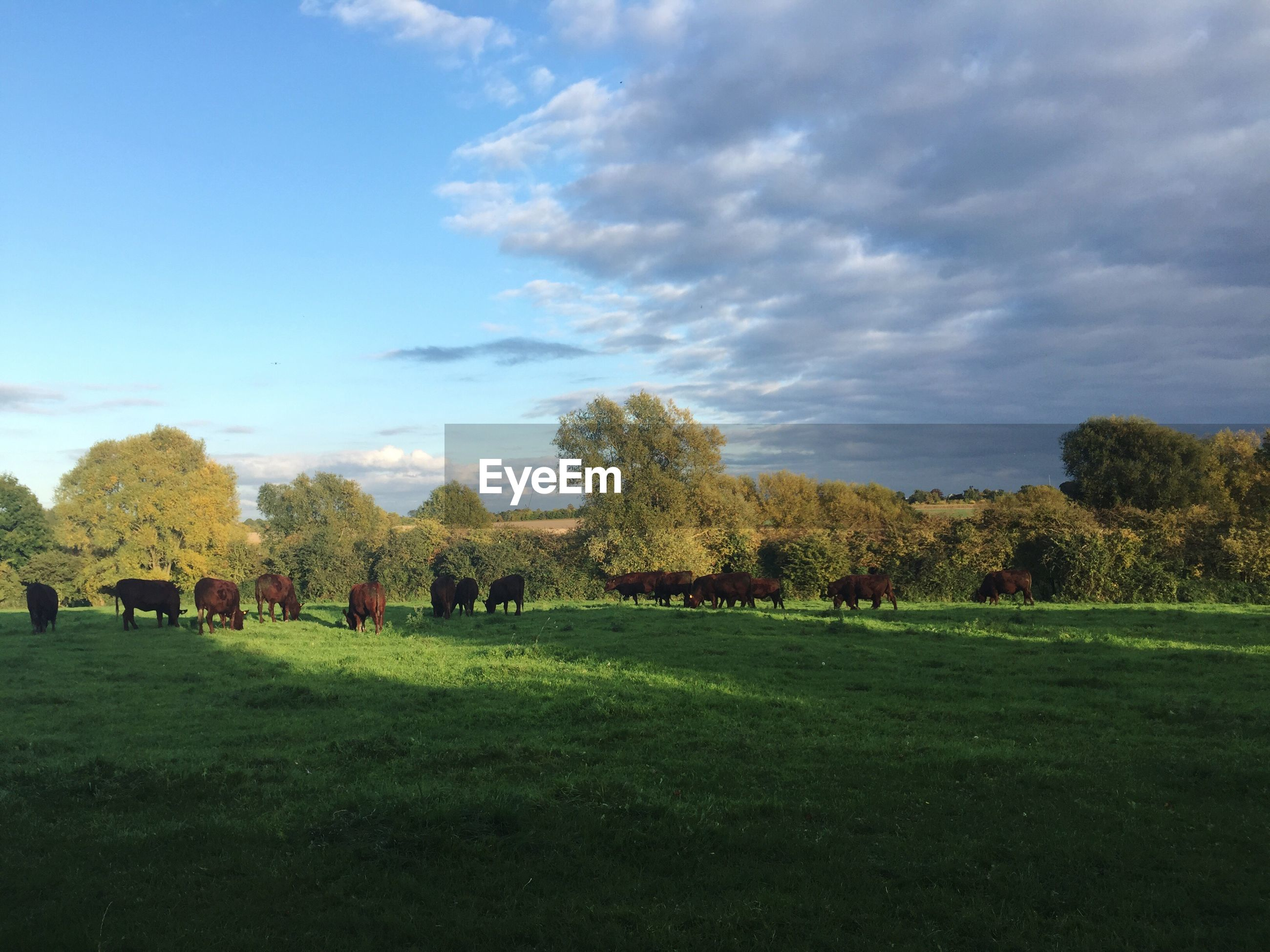 Herd of cows grazing on grassy field against sky