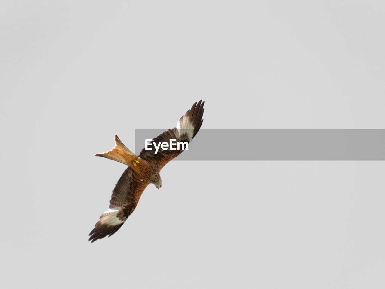 flying, animals in the wild, animal wildlife, bird, animal, animal themes, vertebrate, spread wings, copy space, one animal, clear sky, sky, bird of prey, mid-air, no people, low angle view, motion, nature, beauty in nature, outdoors, eagle