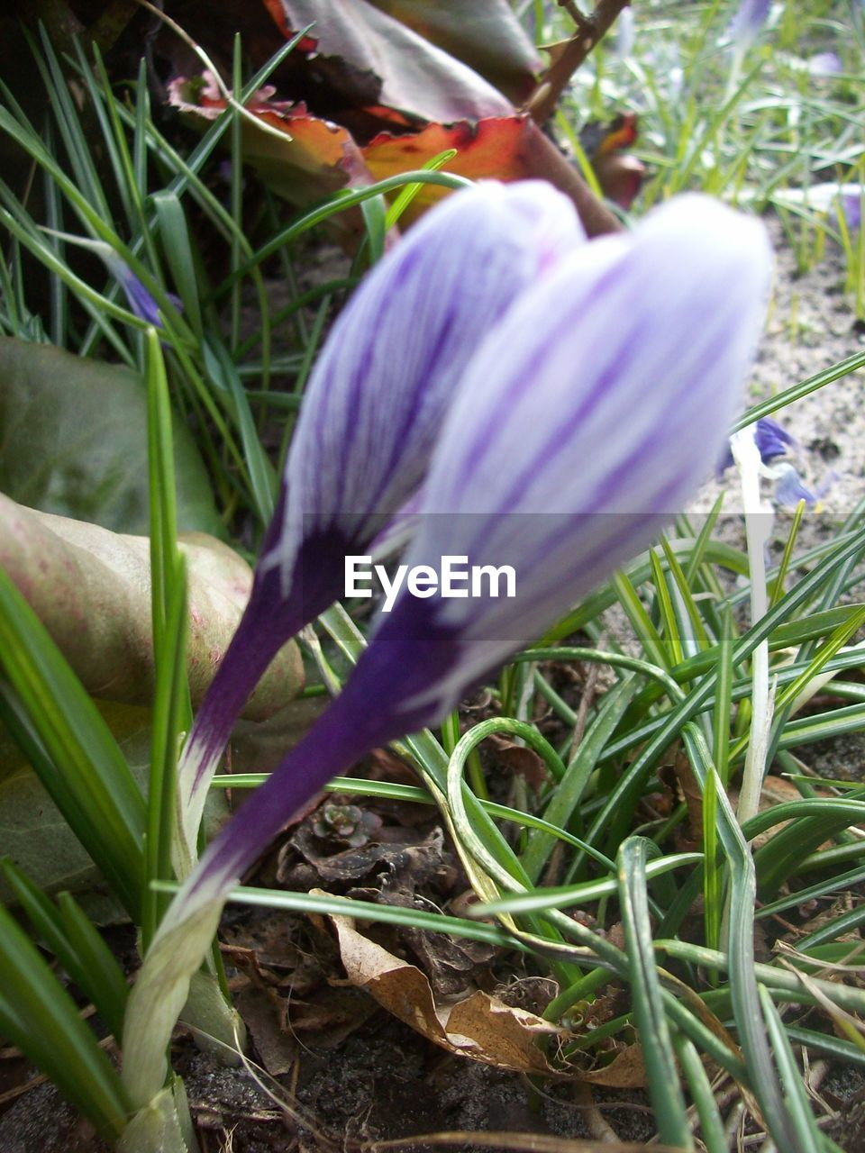 flower, petal, freshness, fragility, nature, growth, beauty in nature, flower head, plant, close-up, no people, day, snowdrop, outdoors, blooming, crocus