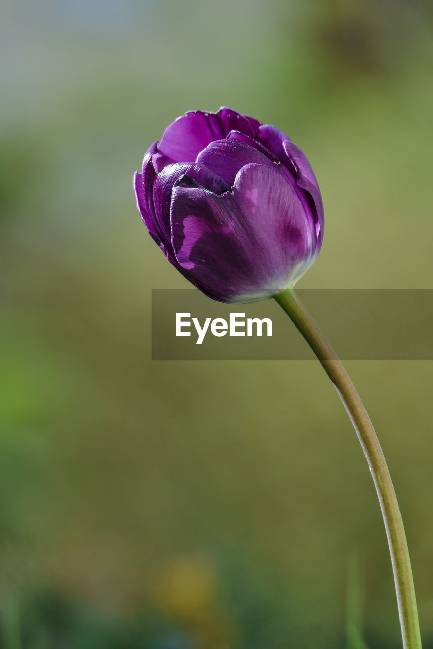 flower, petal, fragility, nature, beauty in nature, freshness, growth, plant, purple, flower head, focus on foreground, close-up, no people, tulip, outdoors, blooming, day