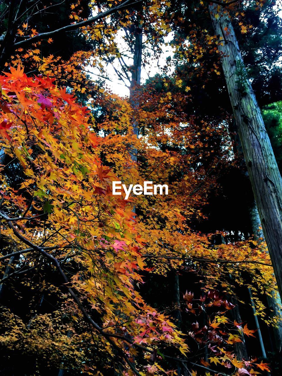autumn, change, tree, leaf, nature, growth, beauty in nature, no people, day, outdoors, branch, tranquility, maple tree, scenics