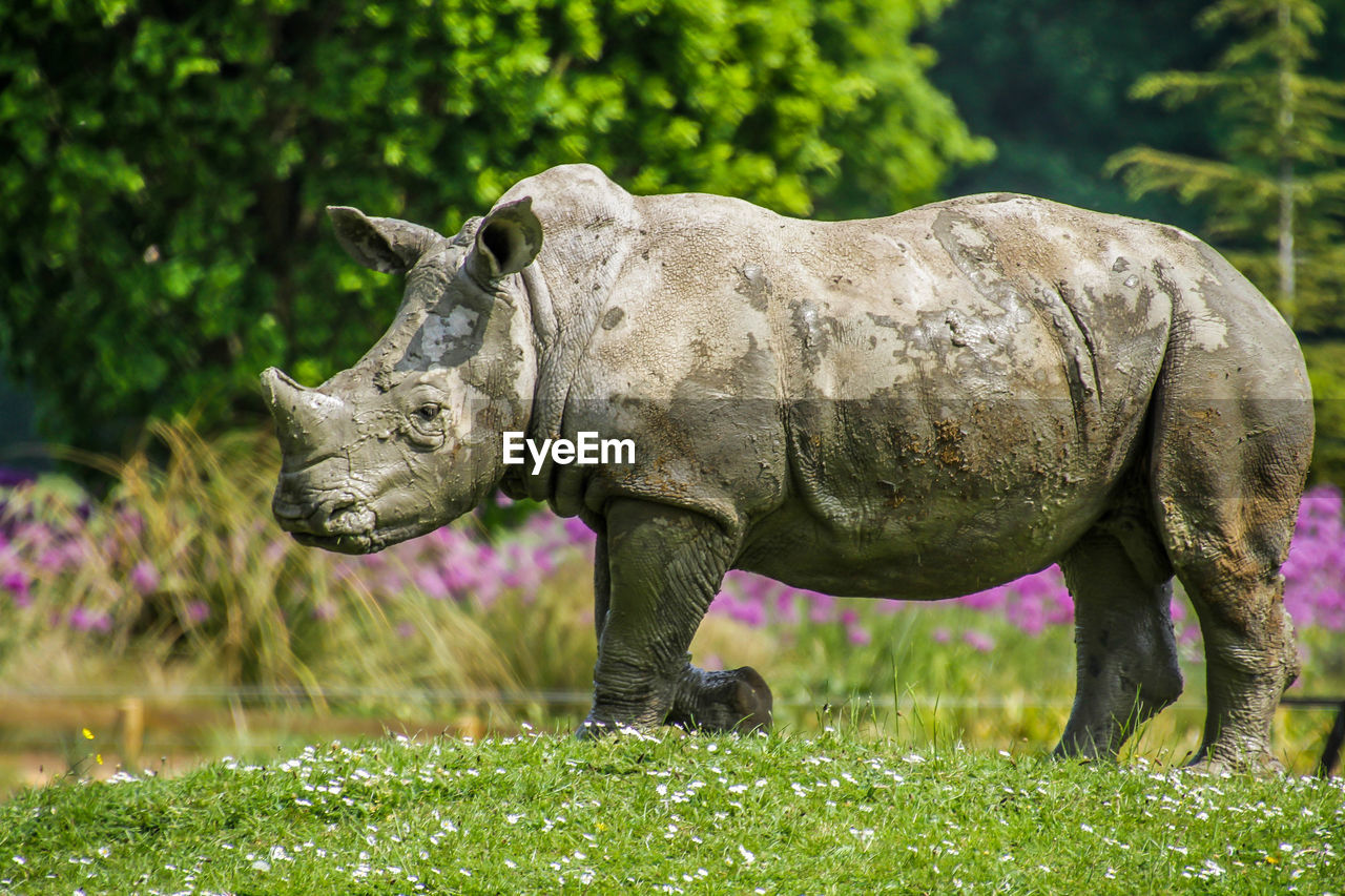 animal themes, animal, mammal, one animal, animal wildlife, grass, plant, animals in the wild, vertebrate, land, field, nature, no people, day, rhinoceros, green color, side view, outdoors, domestic animals, focus on foreground, herbivorous