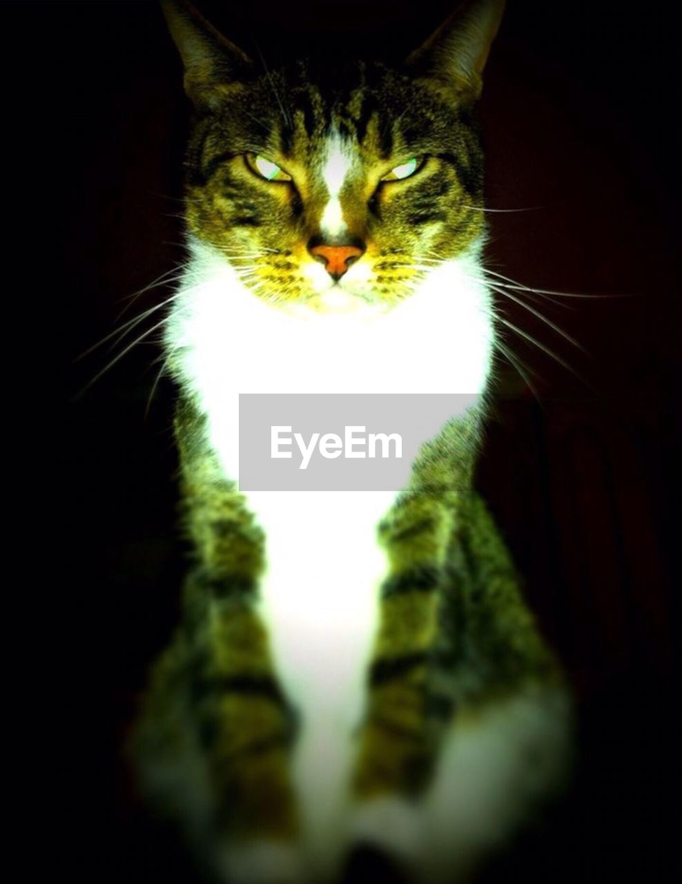 domestic cat, one animal, animal themes, pets, domestic animals, feline, whisker, mammal, no people, indoors, close-up, day