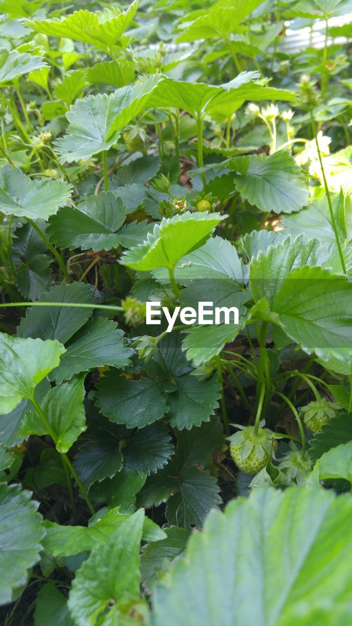 leaf, growth, green color, plant, nature, outdoors, no people, day, freshness, beauty in nature, food, close-up