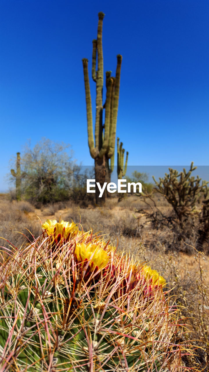 cactus, succulent plant, plant, nature, land, clear sky, field, sky, landscape, growth, desert, no people, blue, saguaro cactus, day, scenics - nature, beauty in nature, tranquility, non-urban scene, sunlight, arid climate, outdoors, climate