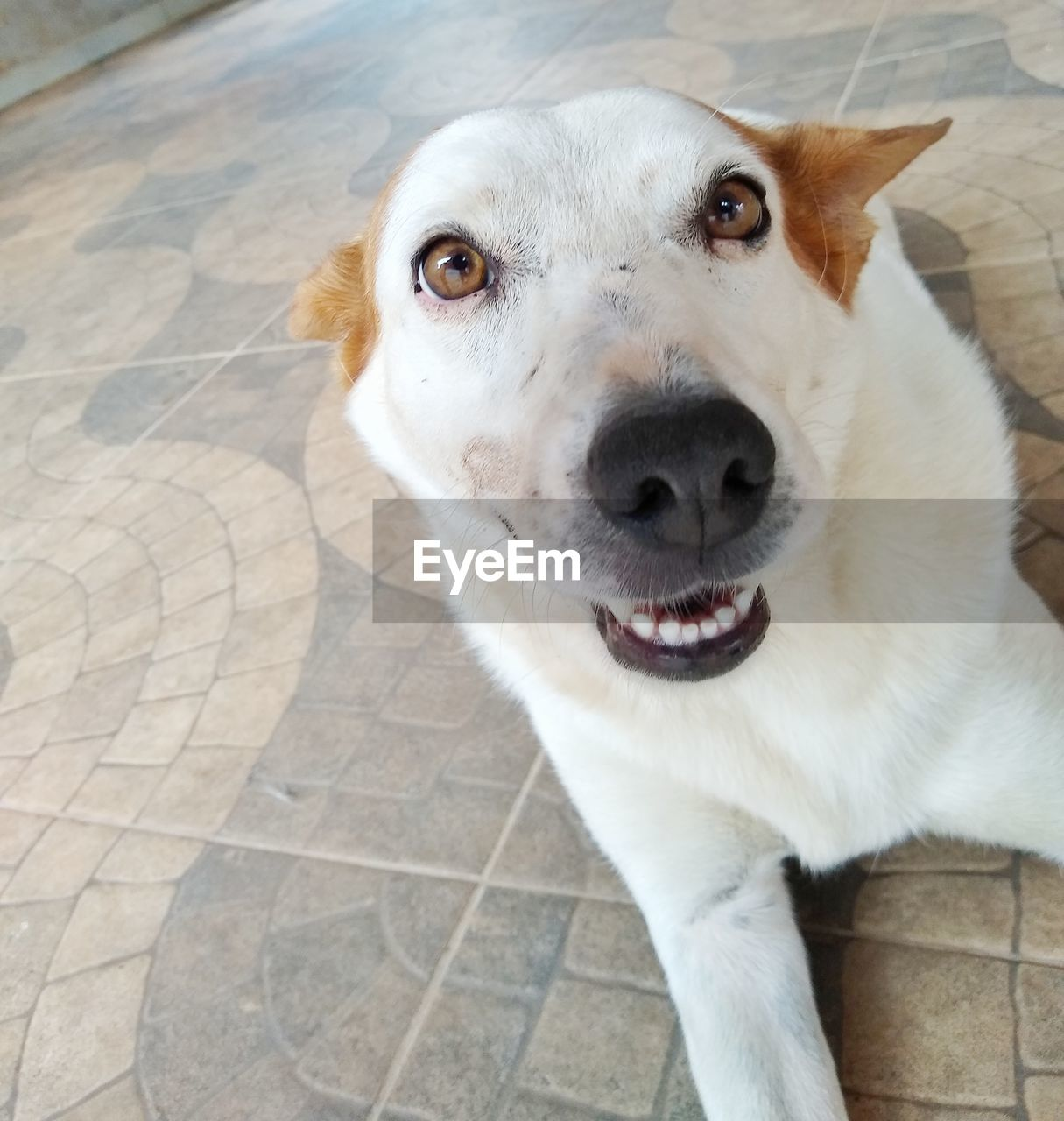 one animal, domestic, domestic animals, pets, mammal, animal themes, animal, dog, canine, vertebrate, looking at camera, portrait, high angle view, flooring, animal body part, close-up, mouth, mouth open, footpath, no people, tiled floor, animal head, animal mouth, whisker